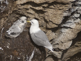 Black-Legged Kittiwake (Rissa Tridactyla), Isle of Lunga, Inner Hebrides, Scotland, UK, Europe Photographic Print by Mark Harding