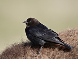 Brown-Headed Cowbird (Molothrus Ater), Yellowstone National Park, Wyoming, USA, North America Papier Photo par James Hager
