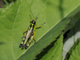 Mountain Grasshopper (Miramella Irena), Julian Alps, Slovenia, Slovenian, Europe, European Photographic Print by Nick Upton