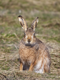 Brown Hare (Lepus Europaeus), Islay, Scotland, United Kingdom, Europe Photographic Print by Ann & Steve Toon
