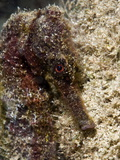 Longsnout Seahorse (Hippocampus Reidi), Uncommon to Caribbean, St Lucia, West Indies Photographic Print by Lisa Collins