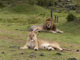 Lion (Panthera Leo), Masai Mara, Kenya, East Africa, Africa Photographic Print by Sergio Pitamitz