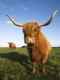 Highland Cattle, Conservation Grazing on Loch of Kinnordy Rspb Reserve, Kirriemuir, Angus, Scotland Photographic Print by Ann & Steve Toon