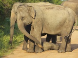 Wild Female Asian Elephants with Baby Elephant, Yala National Park, Sri Lanka, Asia Photographic Print by Peter Barritt