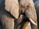 African Elephant (Loxodonta Africana), Etosha National Park, Namibia, Africa Photographic Print by Sergio Pitamitz