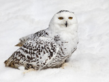 Snowy Owl (Nictea Scandiaca) Female, Captive, United Kingdom, Europe Photographic Print by Ann & Steve Toon