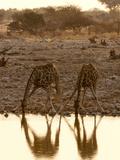 Giraffe (Giraffa Camelopardalis) Drinking, Etosha National Park, Namibia, Africa Photographic Print by Sergio Pitamitz