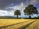 Cornfields, Exe Valley, Devon, England, United Kingdom, Europe Photographic Print by Jeremy Lightfoot