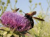 Mammoth Wasp (Megascolia Maculata Maculata) Feeding on Milk Thistle (Marianum), Lesbos, Greece Photographic Print by Nick Upton