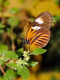 Hecales Longwing Butterfly (Heliconius Hecale), Widespread across South America Photographic Print by Raj Kamal