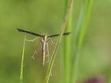 Plume Moth (Stenoptilia Bipunctidactyla) on Grass, Wiltshire, England Photographic Print by Nick Upton