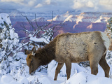 Elk (Cervus Canadensis) (Wapiti), Grand Canyon Nat'l Park, UNESCO World Heritage Site, Arizona, USA Photographic Print by Michael Nolan