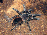 Brazilian Salmon Pink Bird-Eating Tarantula (Lasiodora Parahybana) from Northeastern Brazil Photographic Print by Raj Kamal