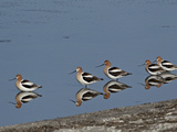 Five American Avocet (Recurvirostra Americana), Yellowstone National Park, Wyoming, USA Reproduction photographique par James Hager