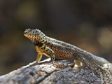 Lava Lizard (Microlophus Spp), Galapagos Islands, UNESCO World Heritage Site, Ecuador Photographic Print by Michael Nolan