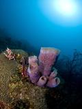 Azure Vase Sponge (Callyspongia Plicifera), and Sunburst, St Lucia, West Indies, Caribbean Photographic Print by Lisa Collins