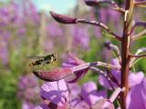 Marmalade Hoverfly (Episyrphus Balteatus), Rosebay Willowherb (Epilobium Angustifolium), England Photographic Print by Nick Upton