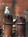 Herring Gull (Larus Argentatus) on Chimney Pots in City, Newcastle, England, United Kingdom, Europe Photographic Print by Ann & Steve Toon