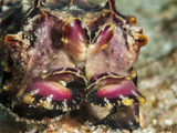 Flamboyant Cuttlefish (Metasepia Pfefferi), Sulawesi, Indonesia, Southeast Asia, Asia Photographic Print by Lisa Collins