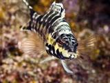 Harlequin Bass (Serranus Tigrinus), St. Lucia, West Indies, Caribbean, Central America Photographic Print by Lisa Collins