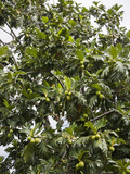 Breadfruit (Artocarpus Altilis) Tree, Kingstown, St. Vincent and Grenadines, West Indies Photographic Print by Adina Tovy