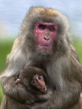 Snow Monkey, Japanese Macaque (Macaca Fuscata) with Baby, in Captivity, United Kingdom, Europe Photographic Print by Ann & Steve Toon