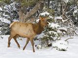Elk, Cervus Canadensis, Wapiti, Grand Canyon Nat'l Park, UNESCO World Heritage Site, Arizona, USA Photographic Print by Michael Nolan