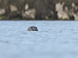 Grey Seal (Halichoerus Grypus) on the Cairns of Coll, Hebrides, Scotland, United Kingdom, Europe Photographic Print by Mark Harding