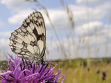 Marbled White Butterfly (Melanargia Galathea)/Greater Knapweed Flower (Centaurea Scabiosa), England Photographic Print by Nick Upton