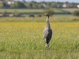 Juvenile Common Crane (Grus Grus) Released by Great Crane Project on Somerset Levels, England Photographic Print by Nick Upton