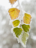 Frost-Covered Birch Leaves, Town of Cakovice, Prague, Czech Republic, Europe Photographic Print by Richard Nebesky