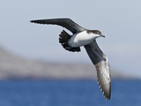 Galapagos Shearwater (Puffinus Subalaris), Galapagos Islands, UNESCO World Heritage Site, Ecuador Photographic Print by Michael Nolan