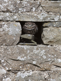 Little Owl (Athene Noctua) Captive, United Kingdom, Europe Photographic Print by Ann & Steve Toon