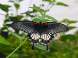 Great Mormon (Papilio Memnon), Butterfly Belonging to Swallowtail Family, Found in Southern Asia Photographic Print by Raj Kamal