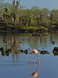 Greater Flamingo (Phoenicopterus Ruber), Galapagos Islands, UNESCO World Heritage Site, Ecuador Photographic Print by Michael Nolan