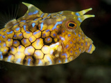 Longhorn Cowfish (Lactoria Conuta), Sulawesi, Indonesia, Southeast Asia, Asia Photographic Print by Lisa Collins