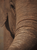 Indian Elephant (Elephas Maximus Indicus), Sri Lanka, Asia Photographic Print by Stuart Keasley
