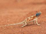 Ground Agama (Agama Aculeata), Kgalagadi Transfrontier Park, Northern Cape, South Africa, Africa Photographic Print by Ann & Steve Toon