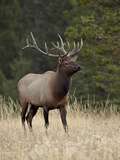 Bull Elk (Cervus Canadensis), Jasper National Park, Alberta, Canada, North America Photographic Print by James Hager