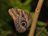 Butterflies in Genus Caligo, Commonly Called Owl Butterflies, with Huge Eyespots Resemble Owls Eyes Photographic Print by Raj Kamal