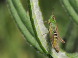 Female Meadow Grasshopper (Chorthippus Parallelus), Wiltshire, England Photographic Print by Nick Upton