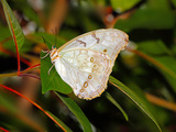 White Morpho (Morpho Polyphemus) of Mexico and Central America Photographic Print by Raj Kamal