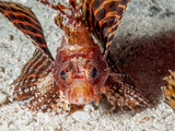 Shortfin Lionfish (Dendrochirus Brachypterus), Sulawesi, Indonesia, Southeast Asia, Asia Photographic Print by Lisa Collins