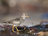 Purple Sandpiper (Calidris Maritima), Bamburgh Beach, Northumberland, England, UK, Europe Photographic Print by Ann & Steve Toon
