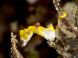 Pygmy Seahorse (Hippocampus Colemani), Sulawesi, Indonesia, Southeast Asia, Asia Photographic Print by Lisa Collins