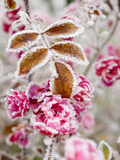 Frost-Covered Flowers and Leaves, Town of Cakovice, Prague, Czech Republic, Europe Photographic Print by Richard Nebesky