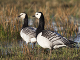 Barnacle Geese (Branta Leucopsis), Loch Gruinart Rspb Reserve, Islay, Scotland, UK, Europe Photographic Print by Ann & Steve Toon