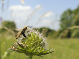 Female Longhorn Moth (Nemophora Metallica) Laying Eggs in Field Scabious (Knautia Arvensis), UK Photographic Print by Nick Upton