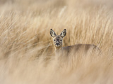 Roe Deer Buck (Capreolus Capreolus), Islay, Scotland, United Kingdom, Europe Photographic Print by Ann & Steve Toon