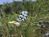 Thread Winged/Spoonwing Lacewing (Nemoptera Sinuata), Ox Eye Daisy (Leucanthemum Vulgare), Greece Photographic Print by Nick Upton